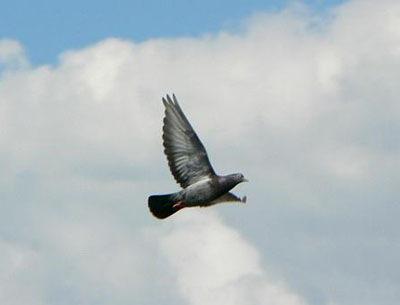 flyingpigeon